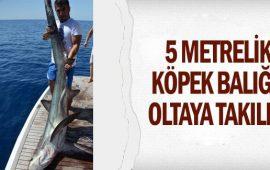 5 metrelik köpek balığı oltaya takıldı