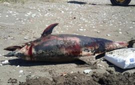 Yunus ölüsü sahile vurdu